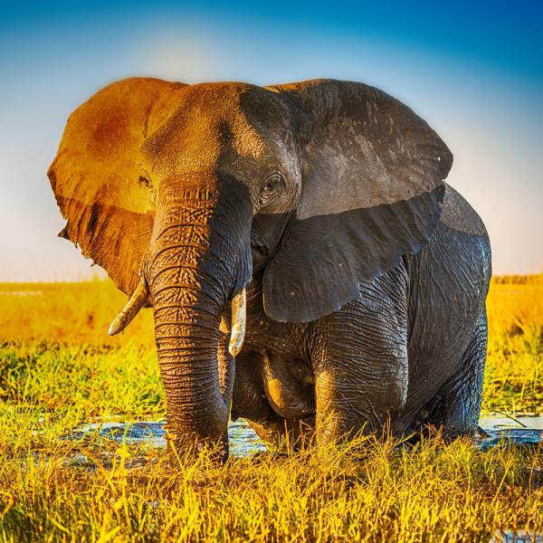 Lichtbild Elefant