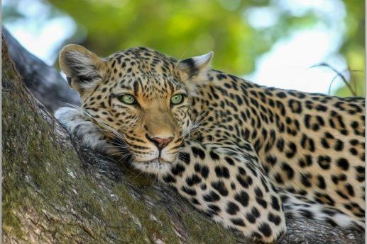 LED Bild Leopard