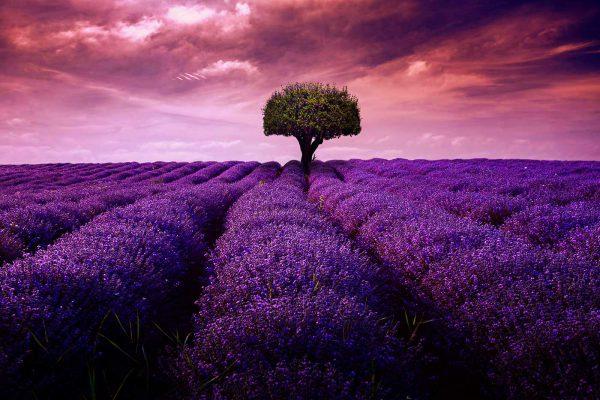 LED Bild Lavendelfeld